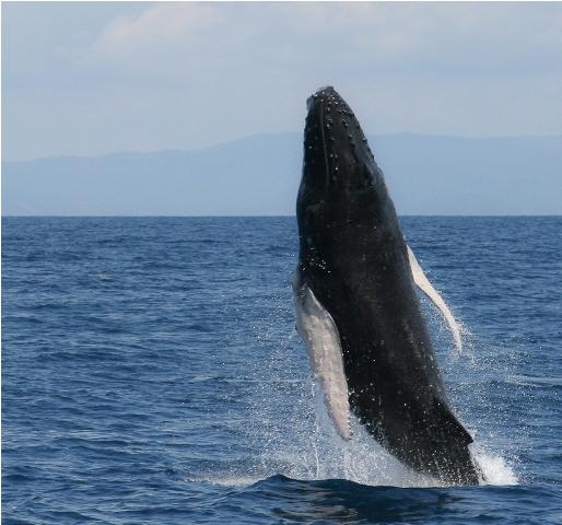 Humback-whale (5)